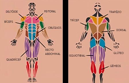 Músculos Corpo Humano | Musculação | Holmes Place