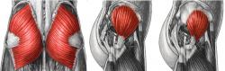 gluteos anatomia